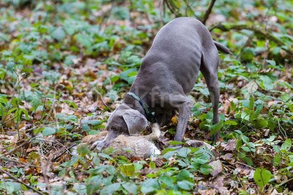 Jachthond huisdier jacht buitenshuis zoogdier Stockfoto © phbcz
