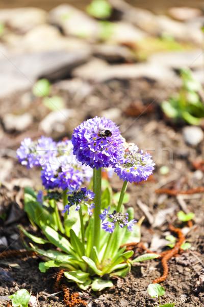 Гималаи цветок природы завода улице флора Сток-фото © phbcz