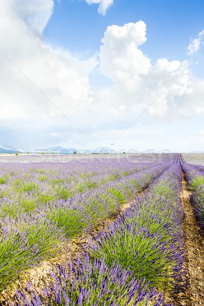 Levendula mező fennsík Franciaország virág utazás növények Stock fotó © phbcz