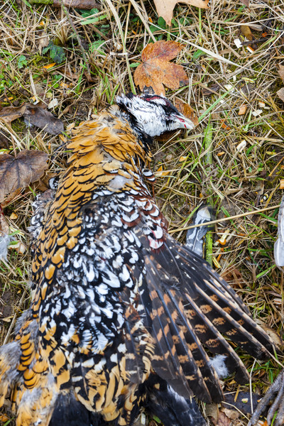 excludes of caught pheasant Stock photo © phbcz