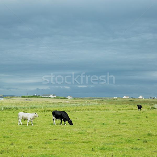 коров полуостров майонез Ирландия природы фермы Сток-фото © phbcz