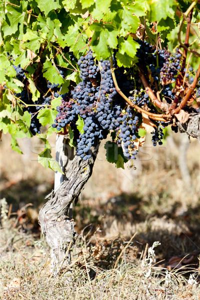 blue grape in Bordeaux Region, Aquitaine, France Stock photo © phbcz