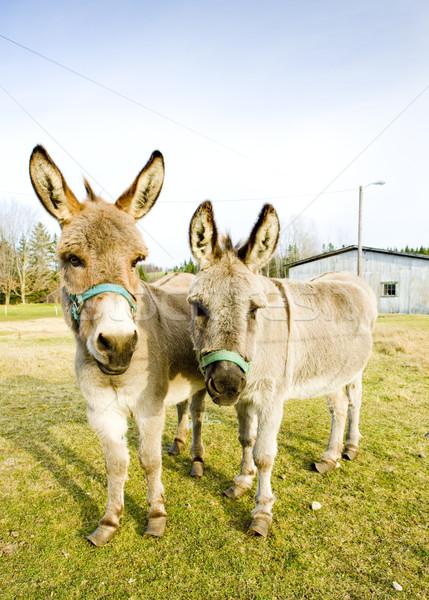 donkeys, Vermont, USA Stock photo © phbcz