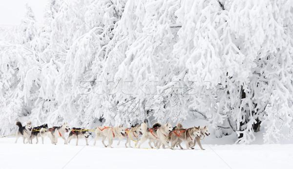 sledge dogging, Sedivacek''s long, Czech Republic Stock photo © phbcz