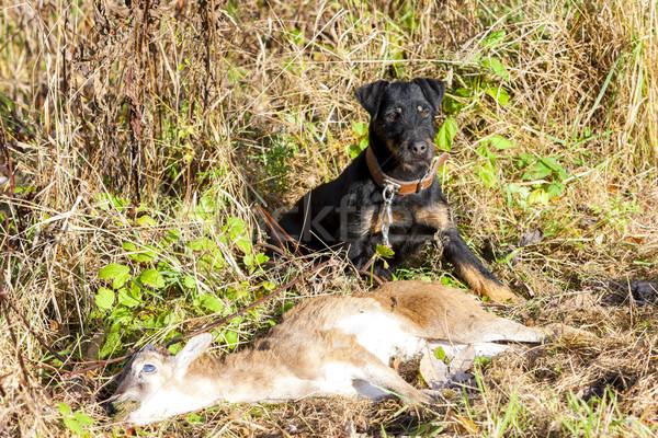 Vadászkutya zsákmány halott vadászat kint emlős Stock fotó © phbcz