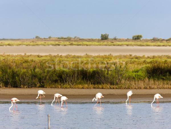 Francia naturaleza aves viaje flamenco naturales Foto stock © phbcz