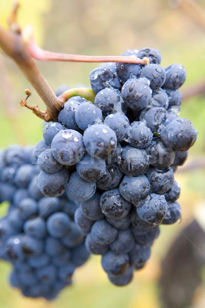 Vinha República Checa natureza frutas uva plantas Foto stock © phbcz