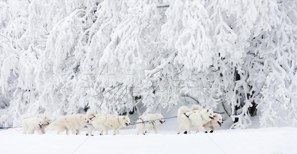 Slitta lungo Repubblica Ceca neve esecuzione gara Foto d'archivio © phbcz