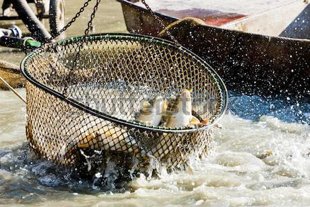 Cosecha estanque peces pesca Foto stock © phbcz