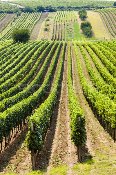 виноградник Чешская республика пейзаж завода Европа природного Сток-фото © phbcz