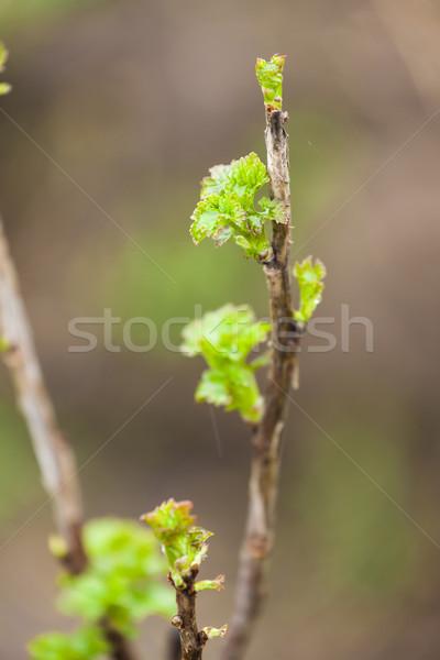 Tak stroom bush voorjaar natuur groene Stockfoto © phbcz