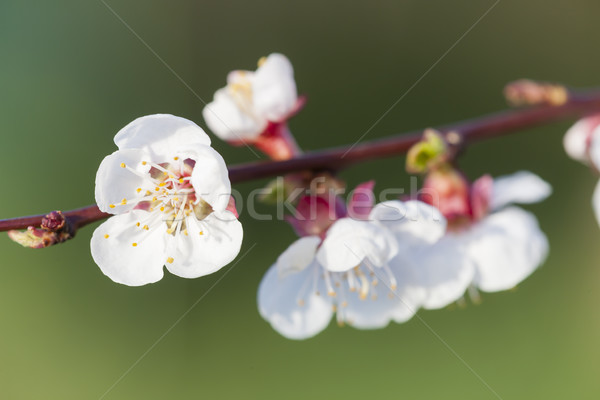 detail of blossom apricot tree Stock photo © phbcz