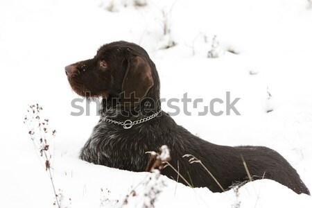 Jachthond sneeuw spel huisdier buitenshuis een Stockfoto © phbcz