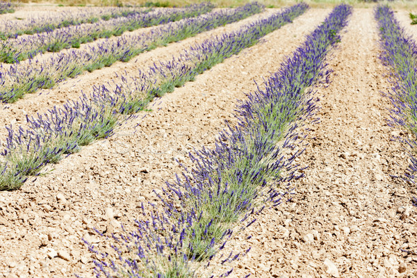 Campo de lavanda meseta Francia naturaleza planta Europa Foto stock © phbcz