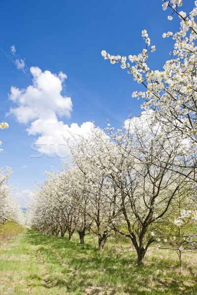 Stock photo: blooming orchard in spring
