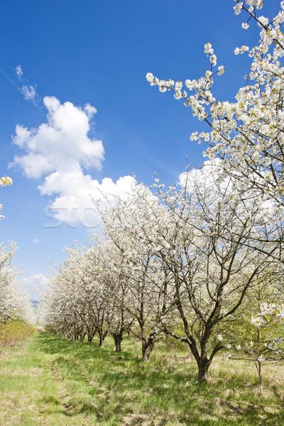 Boomgaard voorjaar boom natuur buitenshuis Stockfoto © phbcz