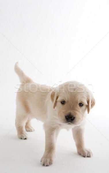 puppy of golden retriever Stock photo © phbcz