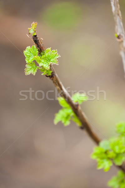 branch of current bush in spring Stock photo © phbcz