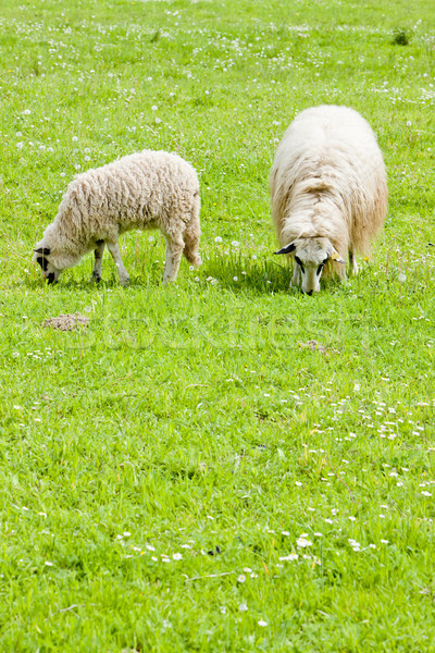 sheep with a lamb on meadow, Bosnia and Hercegovina Stock photo © phbcz