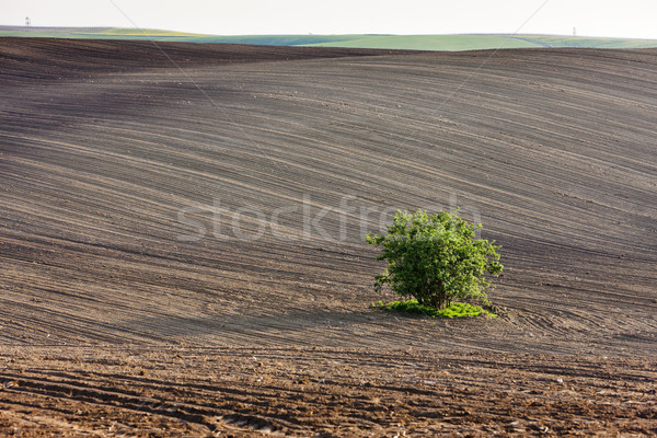 field with a tree in Southern Moravia, Czech Republic Stock photo © phbcz