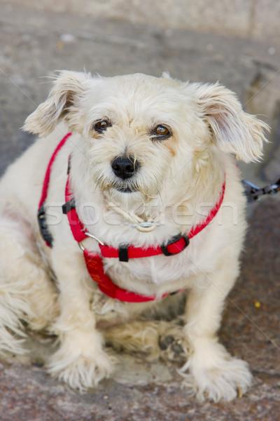 Vergadering hond witte dier huisdieren huisdier Stockfoto © phbcz
