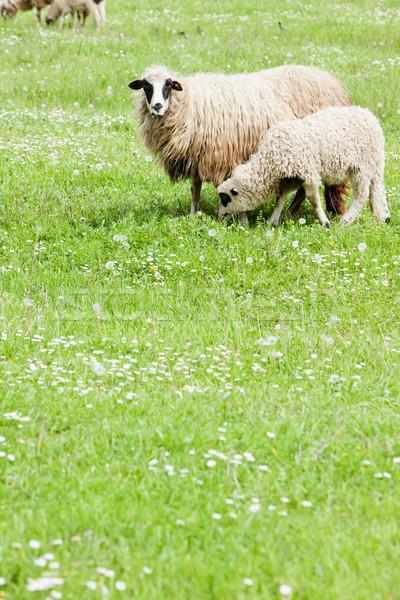 Schapen lam land weide buitenshuis zoogdier Stockfoto © phbcz