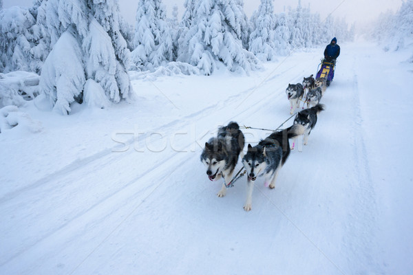 sledge dogging, Sedivacek's long, Czech Republic Stock photo © phbcz
