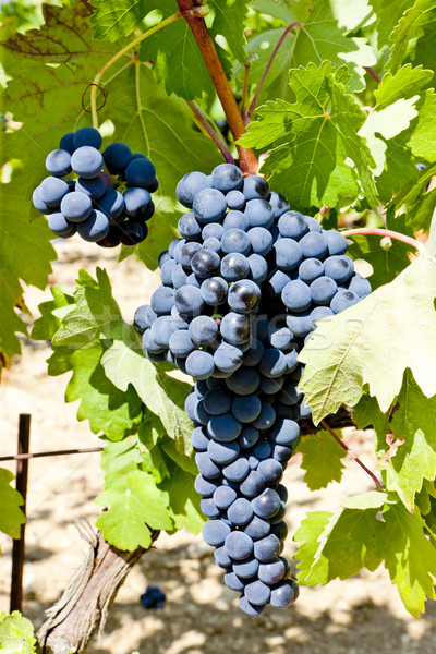 blue grapes, La Rioja, Spain Stock photo © phbcz