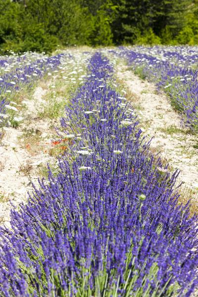 ラベンダー畑 フランス 自然 フィールド 工場 ヨーロッパ ストックフォト © phbcz