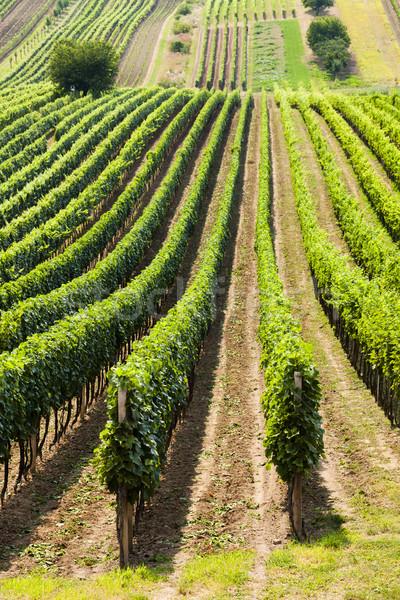 vineyard called Noviny near Cejkovice, Czech Republic Stock photo © phbcz