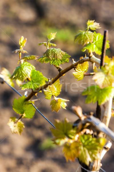 close up of vine Stock photo © phbcz