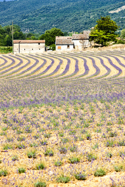 Stock photo: lavender field, Provence, France