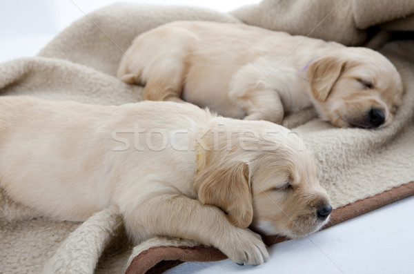 Stockfoto: Slapen · puppies · golden · retriever · honden · dier · puppy