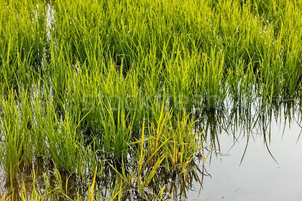 rice field near Tornaco, Piedmont, Italy Stock photo © phbcz