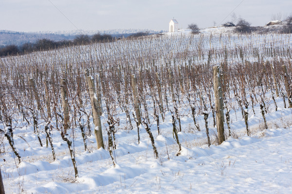 winter vineyard near Hnanice, Southern Moravia, Czech Republic Stock photo © phbcz