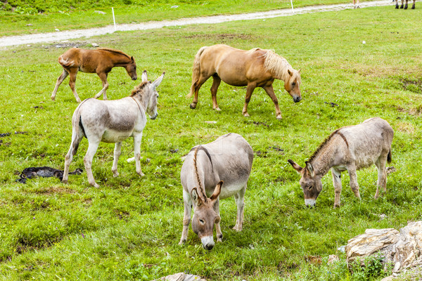 Paarden Italië paard land weide natuurlijke Stockfoto © phbcz