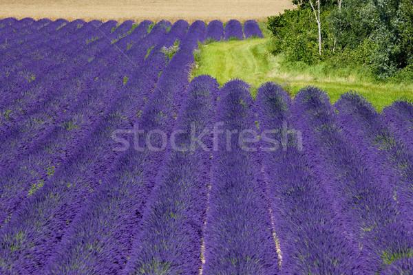 ラベンダー畑 高原 フランス 花 自然 背景 ストックフォト © phbcz