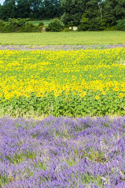 lavender and sunflower fields, Provence, France Stock photo © phbcz