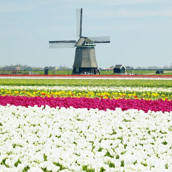 Szélmalom tulipán mező virágok tavasz természet Stock fotó © phbcz