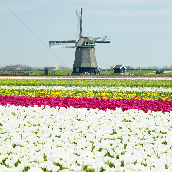 Molino de viento tulipán campo flores primavera naturaleza Foto stock © phbcz
