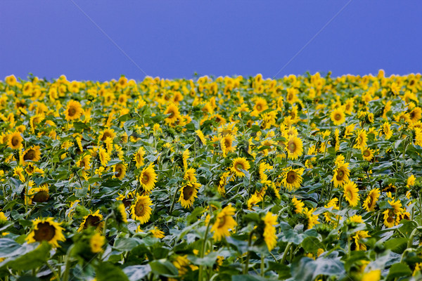 sunflower field Stock photo © phbcz