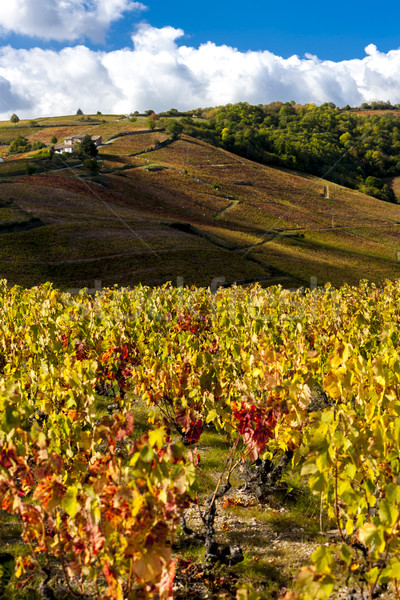 grand cru vineyards near Fleurie in Beaujolais, Rhone-Alpes, Fra Stock photo © phbcz