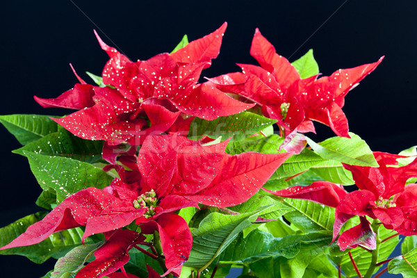 Poinsettia Stock photo © phbcz