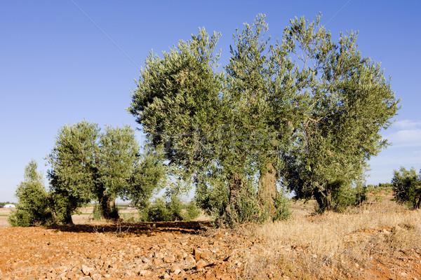 olive trees, Castile-La Mancha, Spain Stock photo © phbcz