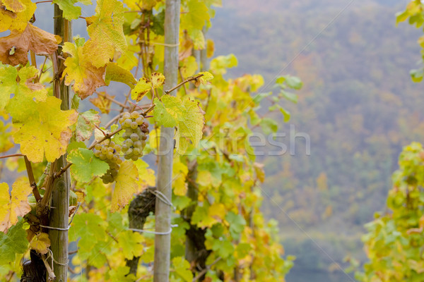 vineyards near Pommern, Rheinland Pfalz, Germany Stock photo © phbcz