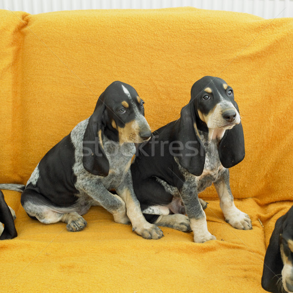 Chiots chiens animaux animal deux Photo stock © phbcz