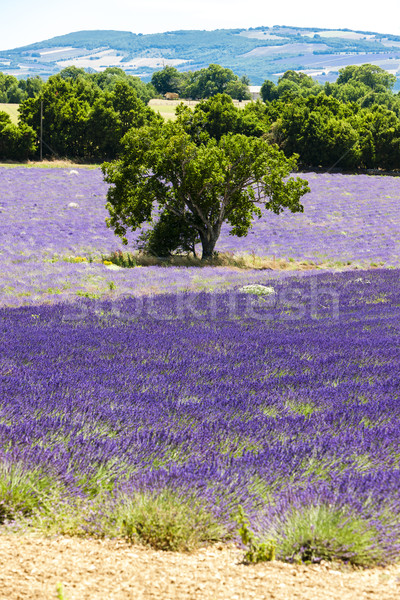 lavender field with a tree, Provence, France Stock photo © phbcz