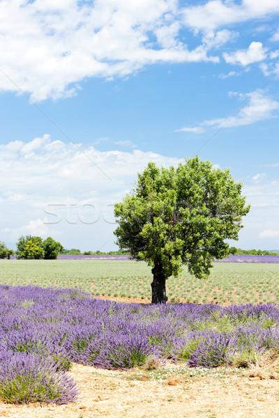 ラベンダー畑 ツリー 高原 風景 工場 農業 ストックフォト © phbcz