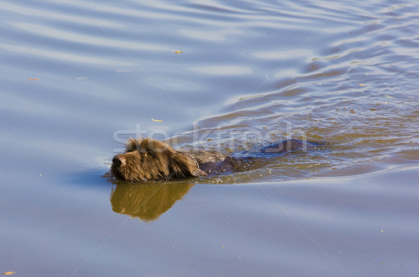 hunting dog in pond Stock photo © phbcz