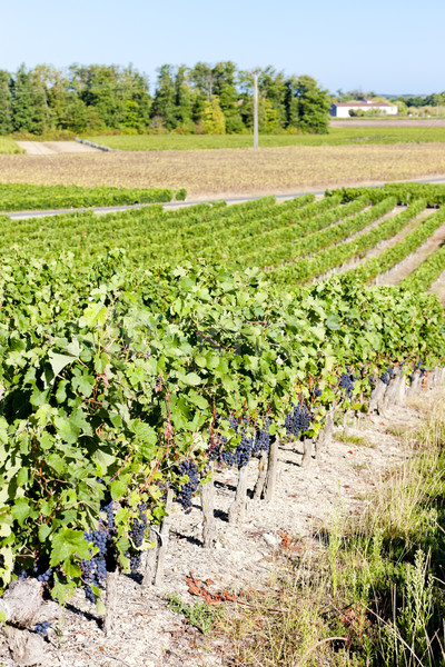 Stock photo: vineyard with blue grapes in Bordeaux Region, Aquitaine, France